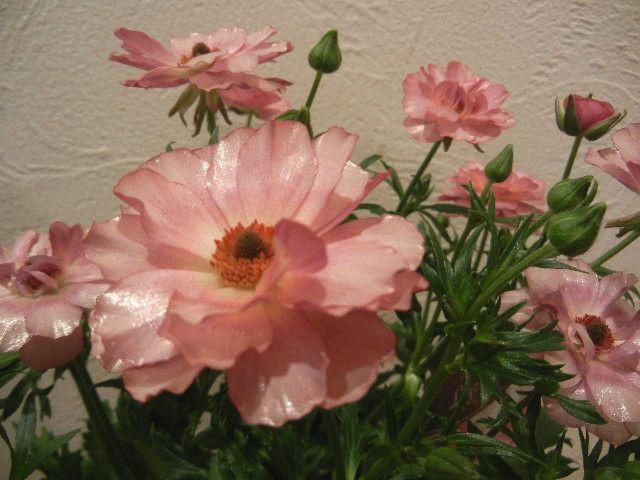光沢のある花びらの人気の品種 ラナンキュラス・ラックス リキュア 寄せ植え・ガーデニング関連用品を通販|g2 (giggle garden)