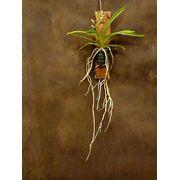爽やかな花と根っこが楽しめる小型種 バンダ・ルースネアリー(板着け)