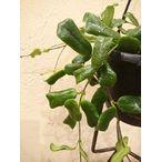 濃いグリーンで葉型が可愛い ホヤ・ロツンディフオリア