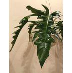 ギザギザリーフで濃いグリーンが引き立つ フィロデンドロン・プルートロンギフォリア